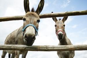 Hof Constien - zwei Esel