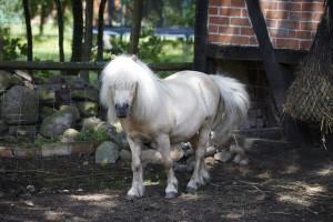Hof Constien - Pony