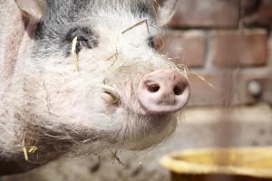 Hof Constien - Schwein